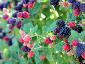 blackberry-bush-2